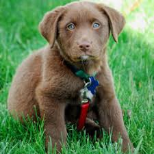 australian shepherd lab puppy chocolate labrador retriever puppies washington state u2013 dogs in