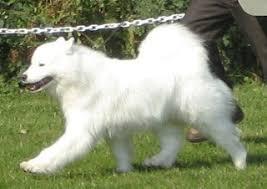 american eskimo dog washington state dog show 2009 07 26