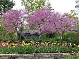 Boothbay Botanical Gardens Coastal Maine Botanical Gardens Eastern Redbuds Tulips Picture