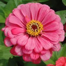 zinnias flowers zinnia benary s carmine harris seeds