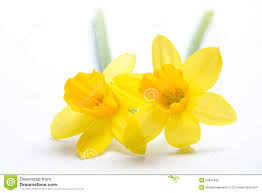 free images daffodils clipground