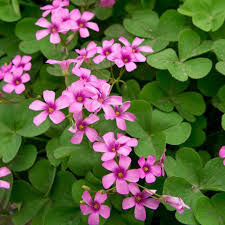 brazil native plants oxalis bulbs flowering shamrocks u2013 bloom indoors or out u2013 easy to