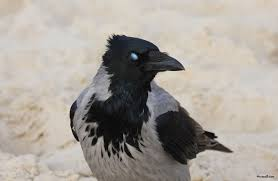 halloween background crow wallpapersphotos photographs of raven bird video pics wallpapers