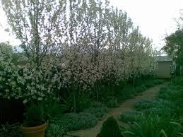 ornamental pear southworth dancer tree sales