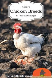 58 best podcasts about chickens homesteading ducks turkeys