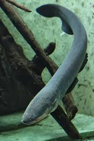 Stable In Spanish by Catalogue Of Organisms Shock Me Like An Electric Eel