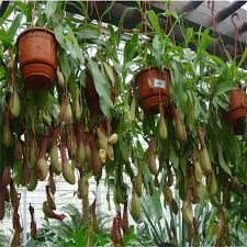 pitcher common nepenthes eat chinese caterpillar fungus plants