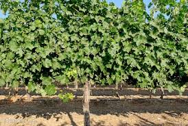 How To Grow Grapes In Your Backyard by Grapevines And Vineyards Bibleplaces Com
