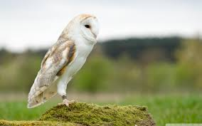 Wallpaper Barn Barn Owl 4k Hd Desktop Wallpaper For 4k Ultra Hd Tv U2022 Wide