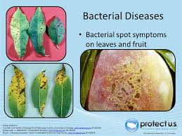 Types Of Bacterial Diseases In Plants - common and invasive pests of stonefruits ppt download