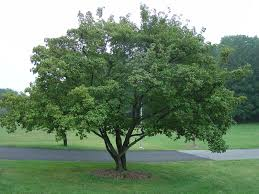 10 best small trees for your yard enkiverywell