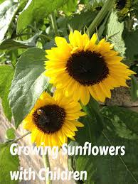 how to grow your own sunflowers with your kids kidsinthegarden