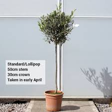 olive standard lollipop olive tree topiary
