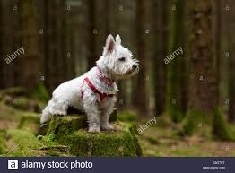 a west highland terrier westie wearing a harness sitting
