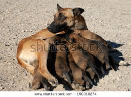 belgian shepherd rescue south africa puppies and mother dog stock images royalty free images u0026 vectors