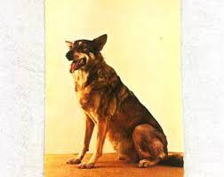 belgian sheepdog short hair belgian sheepdog etsy