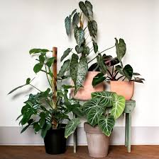 create an indoor jungle with these large indoor plants pistils