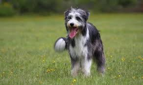 bearded collie x terrier brambledale bearded collies more than skin deep