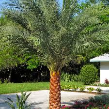 sylvester palm tree sale sylvester palm verdego