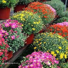 Picture Of Mums The Flowers - 133 best container gardening images on pinterest pots gardening