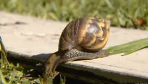 snails in texas have been misidentified as giant african land