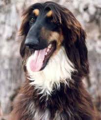 afghan hound lifespan afghan hound breed pictures and information only dog breeds