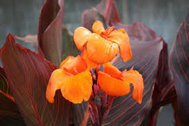 canna lilies cannas how to plant grow and care for canna flowers the