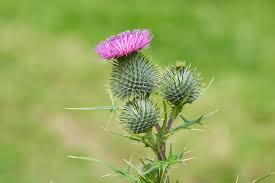 growing globe thistle flowers information about globe thistle