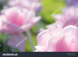 Real Rose Petals Flower Petals Like Real Flowers Vintage Stock Photo 546388183