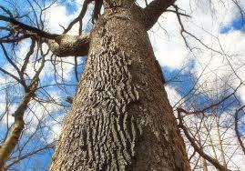 White Oak Bark Let U0027s Talk About Parks Winter Tree Bark Pittsburgh Post Gazette