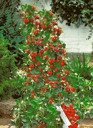 amazon com 200 count lot of climbing red strawberry fruit seeds