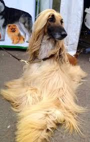 afghan hound breeders new york sudan afghan hound 1 y o watts u0026 sullivan st new york