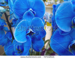 blue orchids for sale royal orchid stock images royalty free images vectors