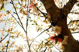 cherry blossom tree by apple of the on deviantart