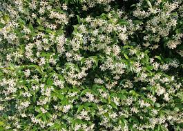 Fragrant Jasmine Plants For Sale Green And White Wall Of Fragrant Jasmine Flowers In Summer Stock