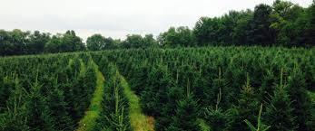 your tree u0027s story kalie u0027s christmas tree farm shickshinny pa 18655