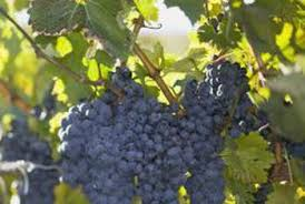 How To Grow Grapes In Your Backyard by How To Add Nutrients To Soil For Grape Vines Home Guides Sf Gate