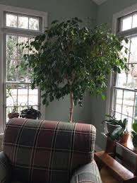 five to growing a healthy ficus tree just one donna