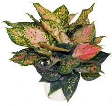 aglaonema aglaonema chinese evergreen tropical foliage plants inc