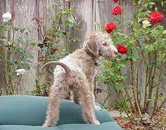 bedlington terrier genetic disease bedlington terrier puppy laying on a lawn chair lorna u0027s basement