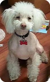 poodle y bichon frise chinese frise breed information and pictures on puppyfinder com