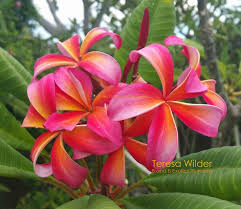 native frangipani hello hello plants u0026 garden supplies b and b exotics plumeria home facebook