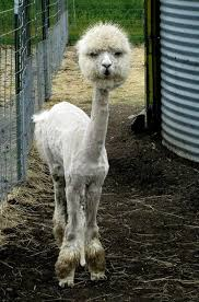 Alpaca Meme - a shaved lama meme guy