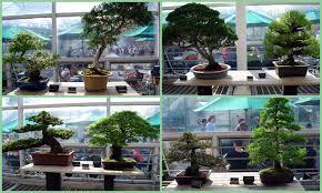 mille fiori favoriti bonsai at the brooklyn botanic garden