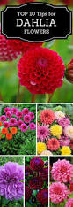 best 25 dahlia flowers ideas on pinterest macro express diy