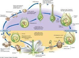 Reproduction In Flowering Plants - 2 answers how to explain the reproduction cycle of flowering