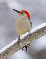 how to photograph backyard birds in the snow u2014 mark dalmeida