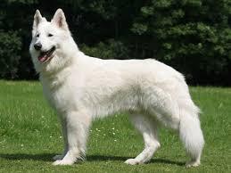 belgian shepherd dog club of canada best 25 white shepherd ideas only on pinterest white dogs pets
