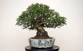 tale of the the bonsai tree and a