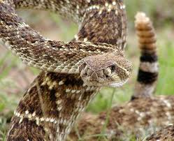 A Bite Of North America by What Is A Mojave Rattlesnake With Pictures